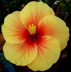 Hibiscus Plant Species