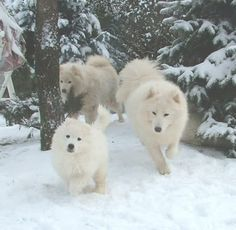 samoyed 3 photo Snow_group03.jpg