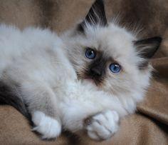 Rag Doll Kittens Blue-Gem Ragdoll photo Gallery - Photos of Ragdoll Cats and kittens Ragdoll Cat Breeders, Ragdoll Cats, Pretty Cats, Beautiful Cats, Cute Cats And Kittens, Kittens Cutest, Teacup Persian Cats, Cat Allergies, Gatos Cats