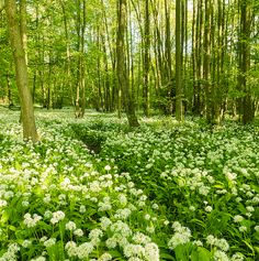 A forest of hornbeam and beech in Stenshuvud National Park in Skåne. Blooming Ramslök (Allium ursinum) covers the ground. Sweden Places To Visit, Kingdom Of Sweden, Woodland Flowers, Sweden Travel, Largest Countries, Best Places To Live, The Good Place, Coastal, National Parks