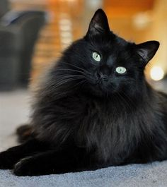 17 Black Cat Voids That Are Not-So-Secretly Watching And Judging You - World's largest collection of cat memes and other animals Cute Cats And Kittens, I Love Cats, Crazy Cats, Cool Cats, Kittens Cutest, Fluffy Black Cat, Fluffy Cat, Black Kitty, Cute Black Cats