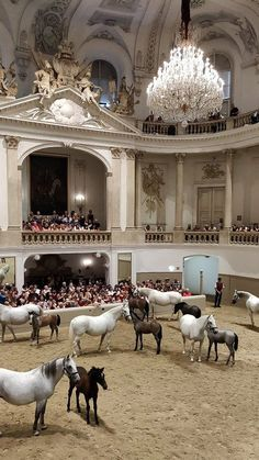 Lipizzan mares and foals, Spanish Riding School, Vienna, Austria Cute Horses, Pretty Horses, Horse Love, Beautiful Horses, Animals Beautiful, Horse Photos, Horse Pictures, Zebras, Animals And Pets
