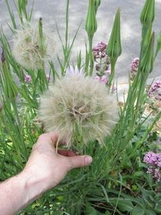 Giant dandelions | 22 Insanely Cool Conversation-Piece Plants For Your Garden