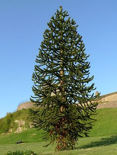 Araucaria Araucana Tree. A new tree to me. Lovely uplifted branches.   Araucaria araucana (Monkey puzzle tree) is a genus of evergreen coniferous trees in the family Araucariaceae. There are 19 extant species in the genus, with a highly disjunct distribution in New Caledonia (where 13 species are endemic), Norfolk Island, eastern Australia, New Guinea, Argentina, Chile, and southern Brazil.