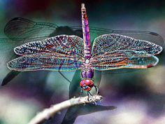 Image detail for -Dragonfly - Lucis InterplayArt by Barbara Williams