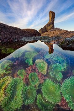 A particularly rich tide pool full of sea anemones, Coast of Washington's Olympic National Park during a very low tide.