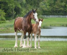 Clydesdale mare and foal