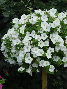 Petunia Surfinia Snow for patio with sun