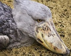 The Shoebill  Though this cartoonish bird looks like it should talk with a Brooklyn accent and bust your chops all day, the shoebill lives in swamps in east Africa and can grow to be nearly five feet tall. With a remaining population of only 5,000 to 8,000 birds, the shoebill is listed as a vulnerable species by BirdLife International.