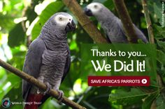 THANK YOU! YOU DID IT!  You helped us reach our goal to Save Africa's Parrots! Thanks to the outstanding support of people like YOU, we have surpassed our goal of raising $100,000 to help Save Africa's Parrots!  Plus, our generous sponsors have agreed to continue matching all donations made by January 31! So if you haven't yet donated, please consider helping to Save Africa's Parrots today. http://www.parrots.org/africa/