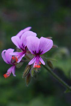 Pelargonium hispidum