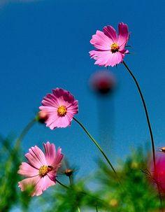Cosmos set off against the blue sky by shinichiro saka, via Flickr.com