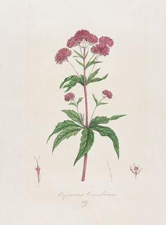Franz von Paula Schrank - Flora Monacensis. 3 Bde. 1814-18