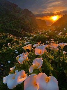 Calla Lily Valley, Big Sur, California