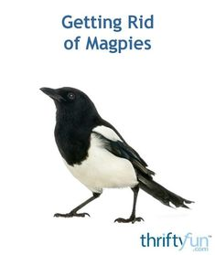Magpies are deterred by certain smells and can be trapped and released somewhere else. They can bully other birds from your yard or bird feeder. This is a guide about getting rid of magpies. Blue Jay, Magpie, Pest Control, Bird Feeders, Bullying, Rid, Backyard, Yard, Eurasian Magpie