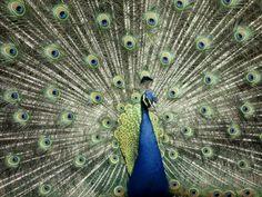 Plumaje de pavo real  Fotografía de Anne Keiser  Mi familiar lejano jajaja