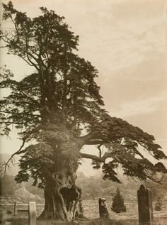 Yew Trees in the Lake District by Payne Jennings, 1880