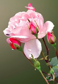 """Which is loveliest in a rose? Its coy beauty when it's budding, or its splendor when it blows?"" ~ George Barlow"