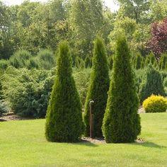 Pyramidal American Arborvitae Tree Seeds (Thuja occidentalis) 40+Seeds