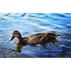 Simple life nature's beauty. #nikondseries #nikon_photography_ #nikonlens #aperturepriority #vivid #iso320 #fastshutterspeed #nature #spring #riverreserve #coogoorahpark #anglesea #vic #australia by kasunksa http://ift.tt/1KosRIg