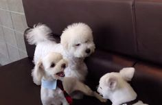 When playtime between his doggy friends turns into a brawl, the fluffy white pup steps in and puts his paw down. There will be no growling and bad behavior in this pack!