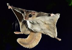 Amazing Flight Of The Southern Flying Squirrels. British...