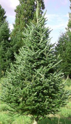 types of christmas trees douglas fir douglas fir are noted. Black Bedroom Furniture Sets. Home Design Ideas