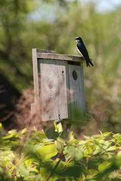 The Tree Swallows have started to move into the bird houses along the Cove Pond at Mine Falls Park and this one was just singing away.