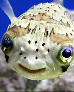 I love puffer fish. so e.t. looking but cute