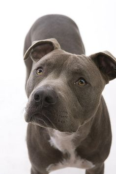 I will have an amstaff / pitbull. Beautiful dogs with so much personality