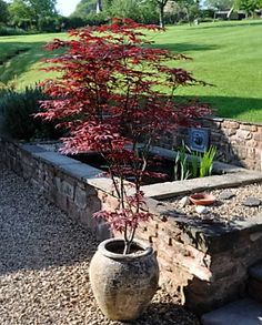 If you don't have time to plant your Japanese Maple its ok, cause it looks great in a pot Japanese Maple Varieties, Japanese Maple Trees, Outdoor Plants, Outdoor Gardens, Modern Gardens, Amazing Gardens, Beautiful Gardens, Garden Design, Landscape Design