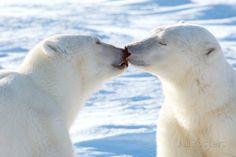 Pictures Of Polar Bears, Bear Photos, Polar Animals, Animals And Pets, Cute Animals, Animals Kissing, Climate Change Effects, Frames For Canvas Paintings, Love Bear