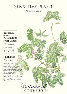 Sensitive Plant Heirloom Seeds Growing Seeds, Growing Plants, Planting Seeds, Planting Flowers, Mimosa Plant, Cactus Plants, Flowering Plants, Potted Plants, Sensitive Plant