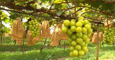 'Pilar Moscato' é a nova variedade de uva na região de Sorocaba, SP