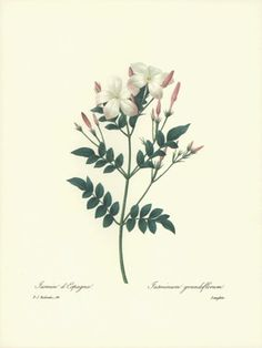 REDOUTE Botanical ROYAL SPANISH JASMINE Flower Art #68