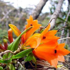 Dendrobium brevicaule, Syn. Pedilonum calcarium ~ Orchidee
