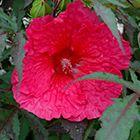 Plum Fantasy Hibiscus (Hibiscus 'Plum Fantasy') at Plant World Thumbnail