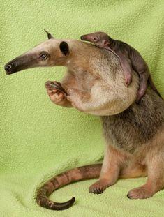 Mom & Baby Tamandua (Lesser Anteater)