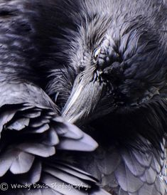 Beautiful raven study by Wendy Davis Photography Raven And Wolf, Quoth The Raven, Raven Bird, Beautiful Creatures, Raven Pictures, Rabe Tattoo, Yennefer Of Vengerberg, Jackdaw, Crows Ravens