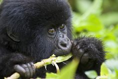 If you're looking for a complete gorilla trekking guide, we've got you covered. Gorilla trekking is one of the most popular African safaris. It doesn't hurt that getting to them is also a breathtaking adventure. From the stunning Virunga Mountains to the ethereal butterflies in the morning mist, Gorilla trekking in Africa is an unforgettable […] The post Gorilla Trekking – Ultimate Guide for Gorilla Treks in Rwanda and Uganda appeared first on Mountain IQ. Gorillas In The Wild, Gorilla Trekking, Adventure Novels, Mountain Gorilla, Volcano National Park, Viewing Wildlife, Rainy Season, African Countries, African Safari