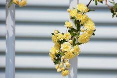 7 plantes grimpantes qui poussent vite pour les impatients - M6 Deco.fr Permaculture, Image Categories, Pergola, Rose, Green, Flowers, Banks, Gardening, Angel