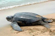 """Leatherback Turtle is the largest of the living turtle species. Its name """"leatherback"""" is coined due to its unique physical characteristic of a rubber-like Big Animals, Animals Of The World, Animals And Pets, Water Animals, Turtle Beach, Turtle Love, Leatherback Turtle, Baby Sea Turtles, Carapace"""