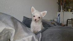 onze chihuahua