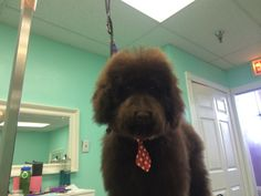 Teddy the Doodle, makeover at The UpScale Tail, Pet Grooming Salon www.theupscaletail.us