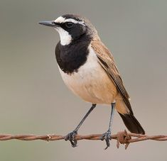 Capped Wheatear, Old World flycatcher family. From Kenya & Angola to the Cape
