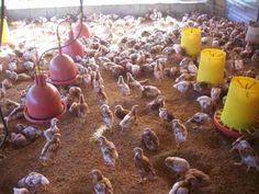 Proyecto Completo Para Cría, Produccion Gallinas Ponedoras