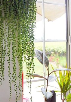 "Beautiful Oversized Hanging Plants.  ""Long delicate strands hang from a 'String of Pearls' succulent, creating a beaded curtain effect."""