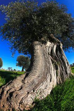 http://www.apuliadestination.com/ Ulivo secolare pugliese