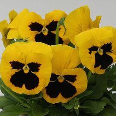Heat Elite Yellow Blotch pansy