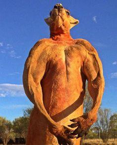 【画像あり】海外で有名なマッスルカンガルーが怖いwwwwwwww : 暇人\(^o^)/速報 - ライブドアブログ